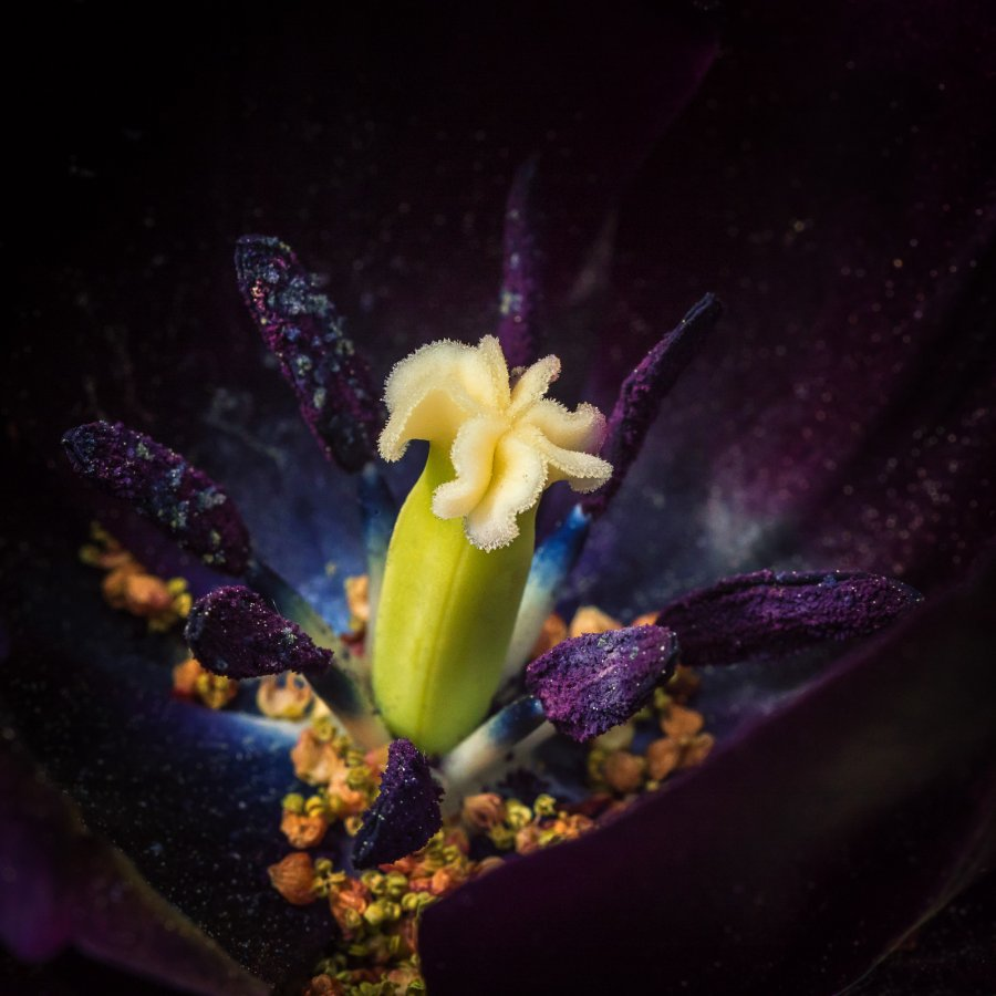 Advanced Print ~ Honorable Mention ~ David Terao ~ Black Tulip