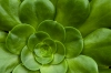 Advanced Print ~ Beth Koller ~ Radial Succulent