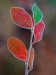 Novice Projected ~ Wendy Kates ~ Frosted Leaves