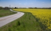 Novice Print ~ Oliver (Pete) Morton ~ Mustard Field