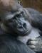 Open ~ Advanced Projected ~ David Terao ~ Melancholy Gorilla