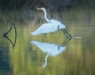 Advanced Print ~ David Terao ~ Great Egret Taking Off