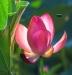 Advanced Prints ~ Oliver (Pete) Morton ~ Lotus Blossom & Bee