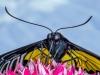 Advanced Print ~ David Terao ~ Golden Birdwing Butterfly