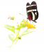 Novice Print ~ Oliver (Pete) Morton ~ Butterfly against white background