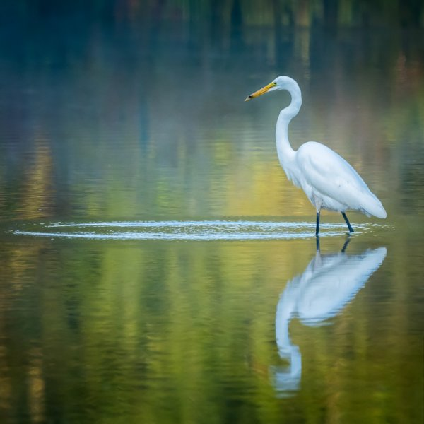Huntley Meadows Park - Great Egret