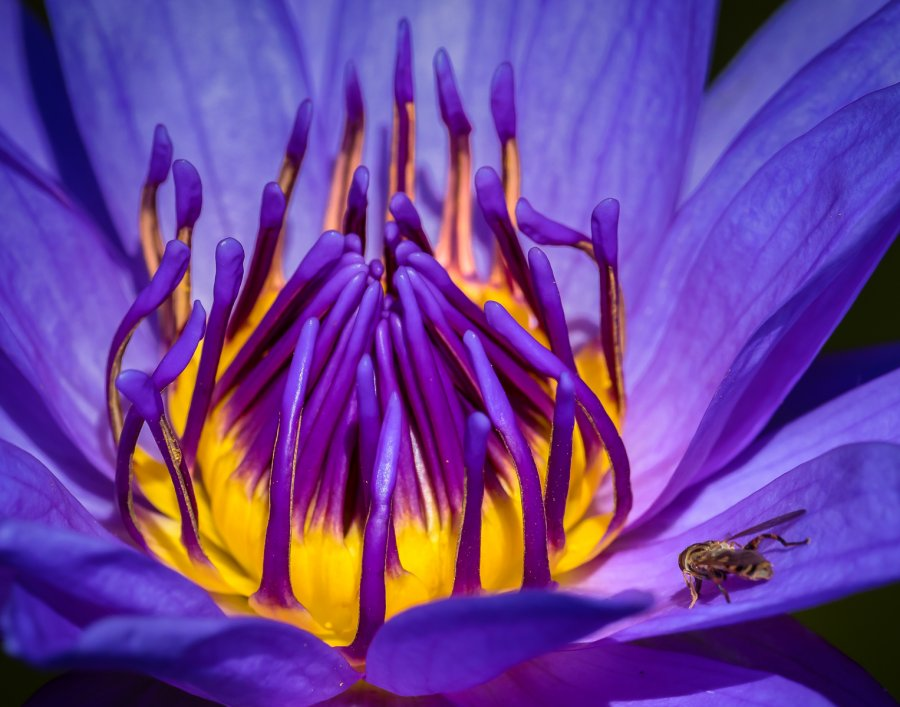 Advanced Print ~ David Terao ~ Hoverfly on a Water Lily