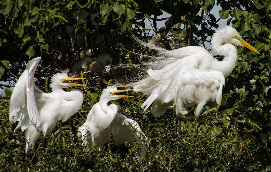 Novice Projected ~ Lisa Auerbach ~ Egret Family