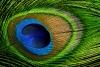 Advanced Print ~ David Blass ~ Peacock Feather