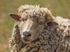 Novice Projected ~ Wendy Kates ~ Wistful Sheep