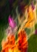 Tulip Flames, Douglas Wolters