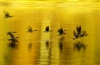 Mike Lux, Golden Geese