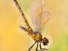 Myphuong Nguyen - Yellow Dragonfly