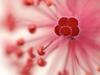 Hawaiian (?) hibiscus