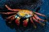 Jim Turner, Sally  Lightfoot Crab