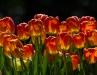 Louise McLaughlin, Tulips