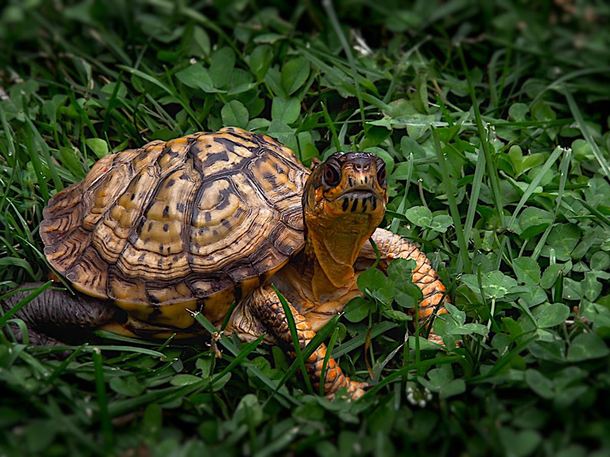 Loretta Argrett, Pierce Mill Tortoise