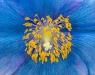 Jim Turner, Blue Poppy