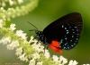 davidblassbutterfly