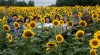 Genie Sachs, Celebrating Sunflowers