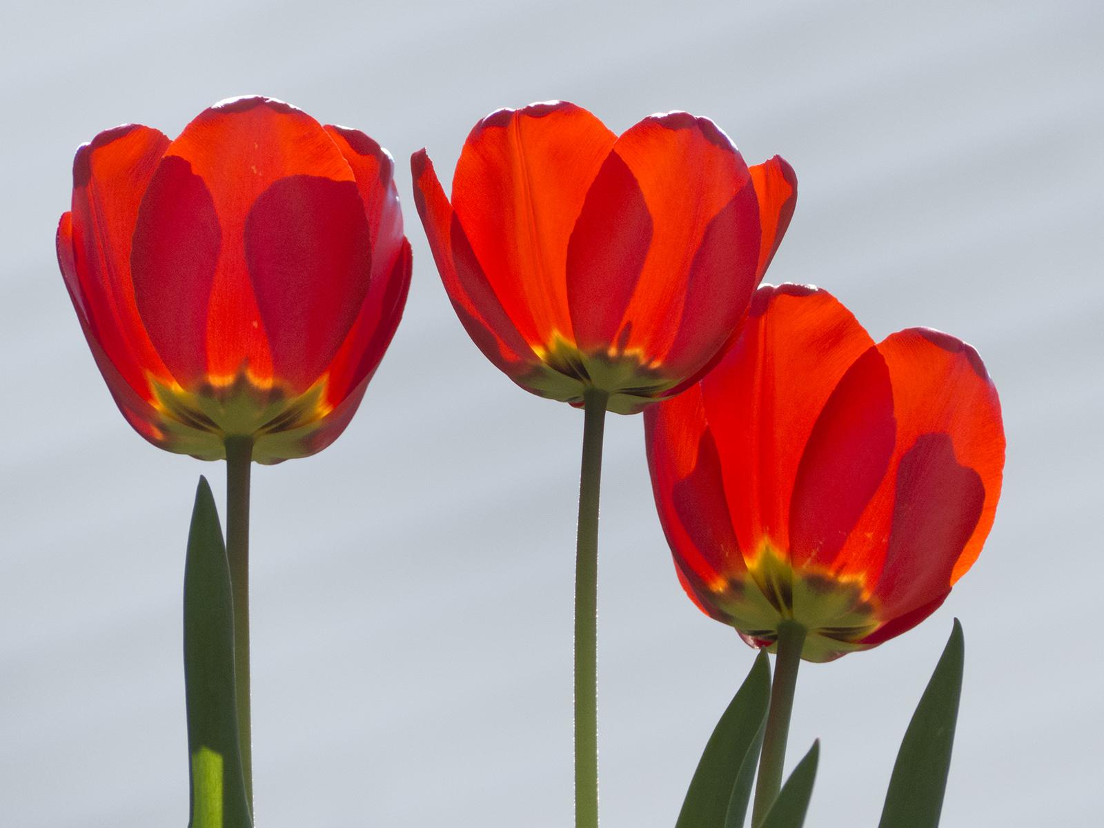 Lenore Boulet, Tulips